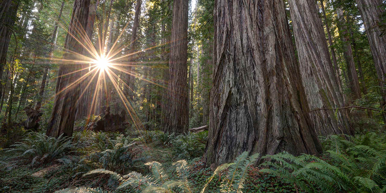 redwood forest sunset